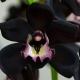 Lady Orchid (Orchid)