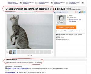 Аферисты обманывают любителей кошек